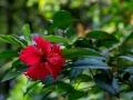 Hibiskus im Regenwald