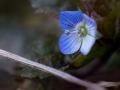 Blaues Blümchen