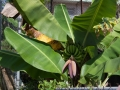 Puerto Rico - Guineo (Bananenbaum)