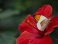 Schmetterling auf Hibiskus